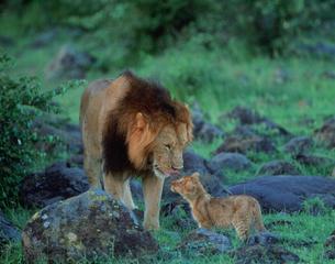 ライオンの写真素材 [FYI04011339]