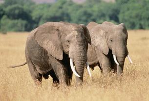 アフリカゾウ マサイマラの写真素材 [FYI04011377]