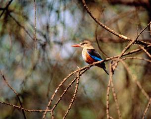 ヤマショウビン サンブール国立公園の写真素材 [FYI04011398]