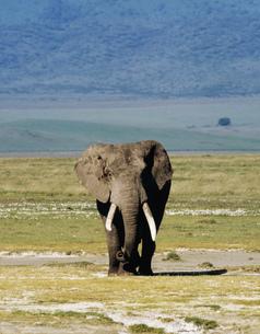 アフリカ象 ンゴロンゴロの写真素材 [FYI04011401]