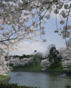 千鳥ケ渕の桜の写真素材 [FYI04011420]