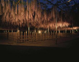 藤の花のライトアップの写真素材 [FYI04011479]