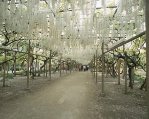 白い藤の花の棚の写真素材 [FYI04011480]