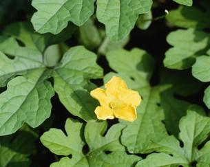 ゴウヤの花の写真素材 [FYI04011501]