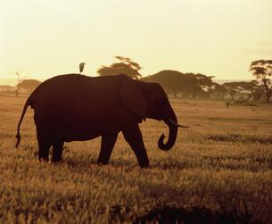 アフリカ象とサギ アンボセリ国立公園の写真素材 [FYI04011520]