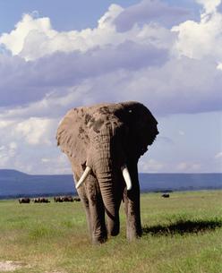 巨象 アンボセリ国立公園の写真素材 [FYI04011521]