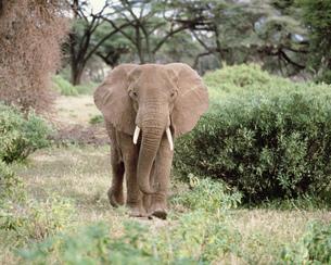 アフリカ象 アンボセリ国立公園の写真素材 [FYI04011522]