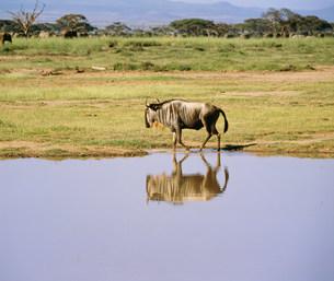 ヌー アンボセリ国立公園の写真素材 [FYI04011523]