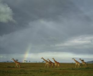 マサイキリンの群れ マサイマラ国立公園の写真素材 [FYI04011540]