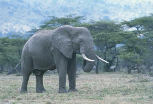 アフリカ象の写真素材 [FYI04011547]