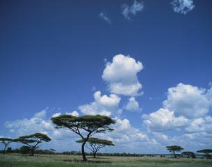 サバンナ 1月 タンザニアの写真素材 [FYI04011550]