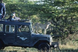 チーター  マサイマラ動物保護区 ケニアの写真素材 [FYI04011575]