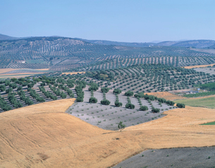 オリーブ畑の写真素材 [FYI04011592]