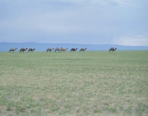 草原とラクダの群れの写真素材 [FYI04011594]