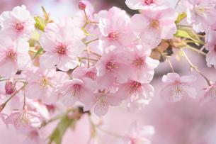 河津桜の写真素材 [FYI04011633]