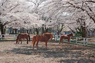 桜と馬 上千葉砂原公園の写真素材 [FYI04011669]