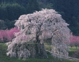 本郷の瀧桜の写真素材 [FYI04011878]