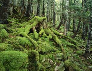 大台ヶ原の苔 吉野熊野国立公園の写真素材 [FYI04012209]