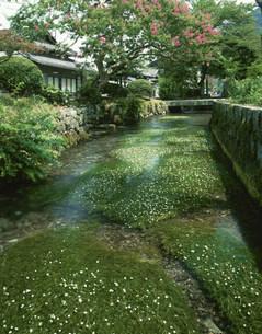 地蔵川に咲くバイカモの写真素材 [FYI04012819]