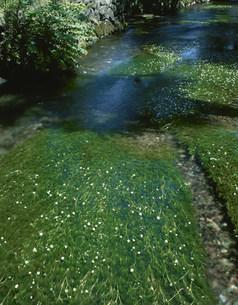 地蔵川に咲くバイカモの写真素材 [FYI04012820]