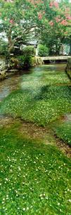 地蔵川に咲く百日紅とバイカモの写真素材 [FYI04012854]