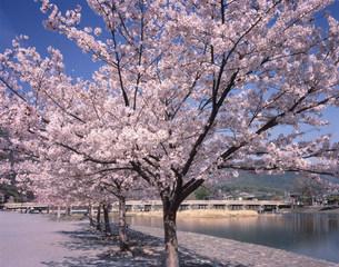 中之島公園の桜の写真素材 [FYI04013131]