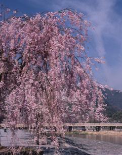 中之島公園 しだれ桜の写真素材 [FYI04013132]