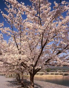 中之島公園の桜の写真素材 [FYI04013137]