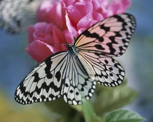 オオゴマダラ 蝶の貴婦人の写真素材 [FYI04013153]