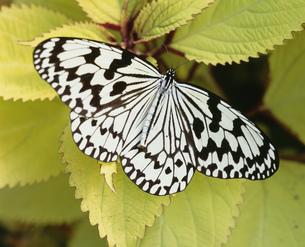 オオゴマダラ 蝶の貴婦人の写真素材 [FYI04013154]