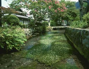 地蔵川に咲くバイカモ 米原町の写真素材 [FYI04013430]