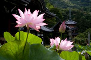 三室戸寺のハスの写真素材 [FYI04013950]