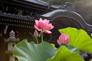 三室戸寺のハスの写真素材 [FYI04013951]