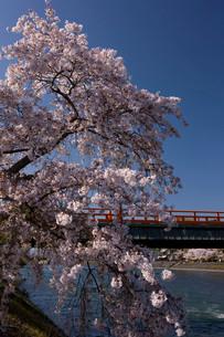 中之島の桜と朝霧橋の写真素材 [FYI04014124]