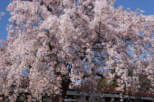 中之島の桜と朝霧橋の写真素材 [FYI04014125]