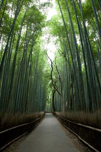 嵯峨の竹林の写真素材 [FYI04014207]