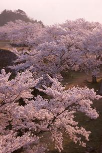 早朝の竹田城跡と桜の写真素材 [FYI04014270]