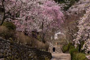 長谷寺の塔頭が立ち並ぶ参道脇の桜の写真素材 [FYI04014400]