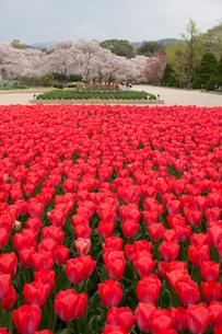 赤いチューリップ咲く京都府立植物園の写真素材 [FYI04014402]
