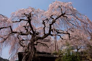 室生山中腹から望む西光寺の城之山桜の写真素材 [FYI04014403]