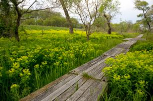 琵琶湖畔に満開の野漆の花の写真素材 [FYI04014427]