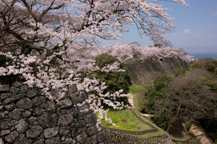 彦根城跡の石垣と桜を望むの写真素材 [FYI04014465]