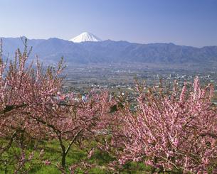 桃の花と富士山の写真素材 [FYI04014640]