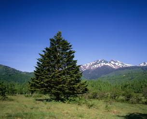 乗鞍岳とオオシラビソ 乗鞍高原より望むの写真素材 [FYI04014643]