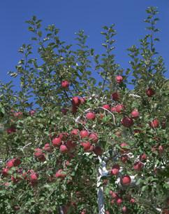 リンゴ フジの写真素材 [FYI04014730]