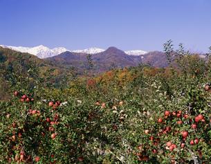 リンゴと北アルプスの写真素材 [FYI04014734]