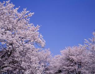 桜と青空の写真素材 [FYI04014736]