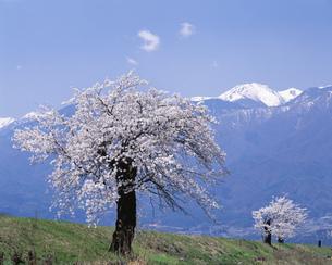 桜と中央アルプスの写真素材 [FYI04014790]