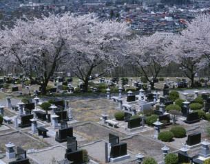 桜と霊園の写真素材 [FYI04014834]