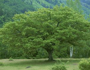 ミズナラの木 乗鞍高原 6月 長野県の写真素材 [FYI04014990]